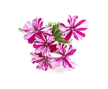 isoleted: Flower pink verbena,isoleted on white background.