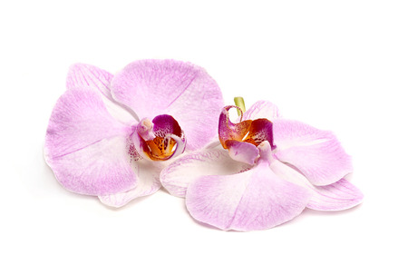 Two orchid flower close-up isolated on white background.