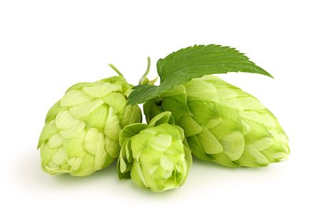 common hop: Fresh green hops leaf isolated on white background. Stock Photo