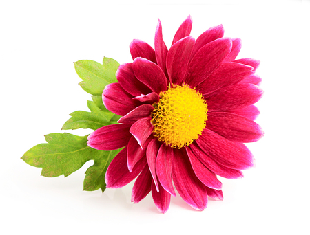 Small pink chrysanthemum with green leaf isolated on white background. photo