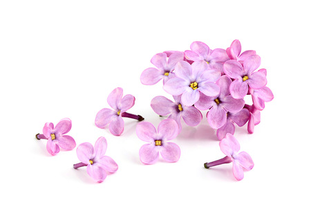 Blooming flower of purple lilac on white background.