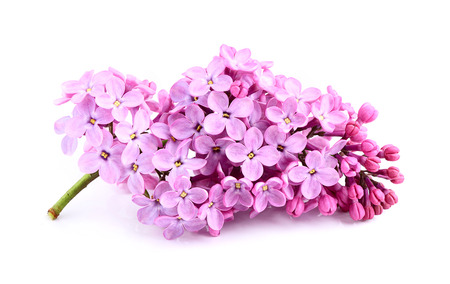 Lilac flower bunch isolated on white background .