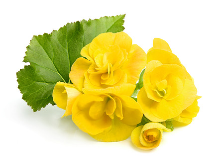 Yellow flowers Begonias with leaf on white background. photo