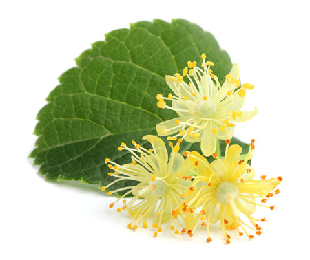 Linden flowers with leaf. Stock Photo