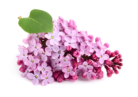 Lilac flower bunch with leaf isolated. photo