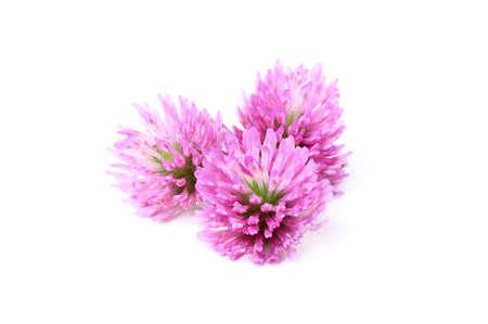 red clover: Red clover flowers isolated on white background. Stock Photo
