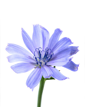 Flower of chicory closeup.Isolated on a white background. Stock Photo