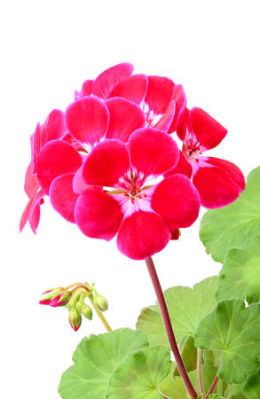 Pink geranium flowers on a white background. Stock Photo