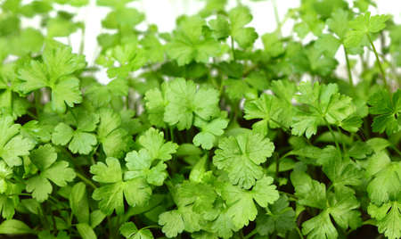 Fresh young growing leaves of parsley.