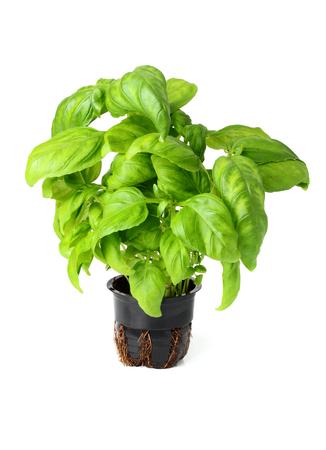 Fresh basil in pot isolated on white background. Stock Photo