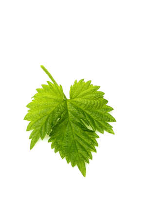 Isolated leaf hops vertically,on a white background.