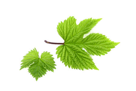 The leaves of hops isolated on a white background. Stock Photo
