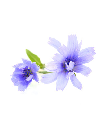 Chicory (succory) flowers isolated on white background.