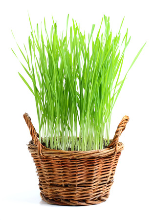 sprouted: Sprouted wheat in a wicker basket.Isolated on white background. Stock Photo