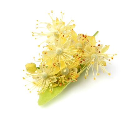 linden flowers: Linden flowers isolated on white background. Stock Photo
