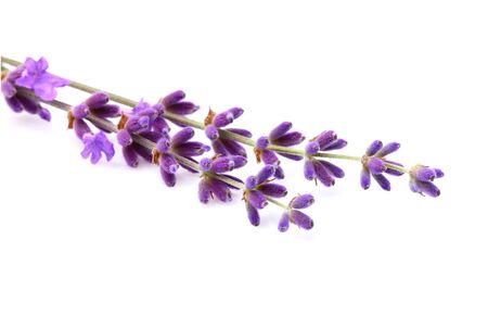 lavender coloured: Branch of fresh lavender isolated on a white background.