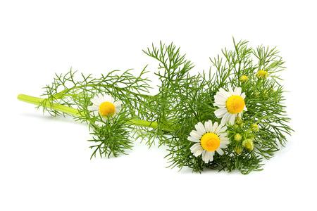 Wild chamomile, Matricaria  isolated on white background .