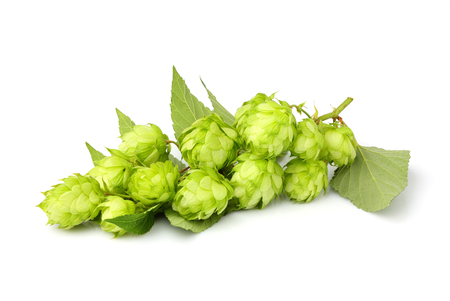 common hop: Fresh branches hop with leaves isolated on white background.