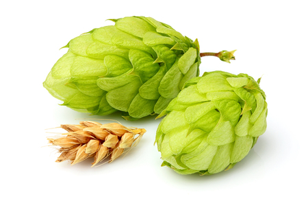 common hop: Green hops, ears of barley and wheat grain.Isolated closeup on white background.