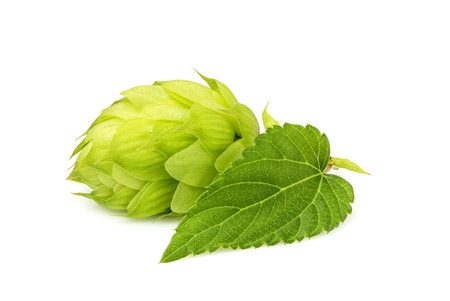 common hop: Fresh green hop isolated closeup with leaf on white background.