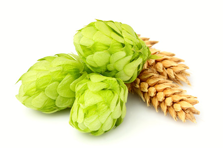 common hop: Fresh green hops, ears of barley and wheat grain.Isolated closeup on white background. Stock Photo