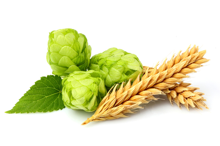 brewery: Green hops, ears of barley and wheat grain.Isolated closeup on white background.