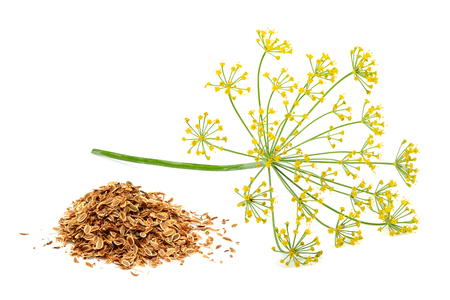 Green wild fennel flowers with dry seeds isolated close-up. Reklamní fotografie