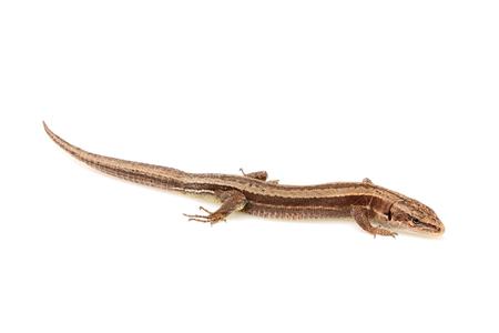 Live lizard ( Lacertilia ) Lacerta agilis isolated on white background closeup.