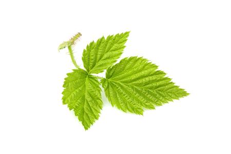 Fresh green leaf isolated on white background closeup. Stock Photo
