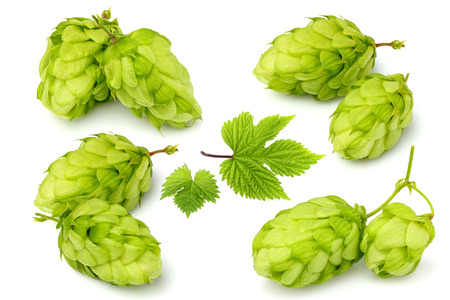 Hops plants isolated close-up on white. Collage.