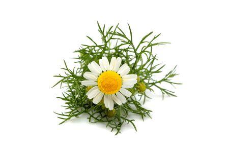 Chamomiles, matricaria flower isolated closeup on white background. 版權商用圖片
