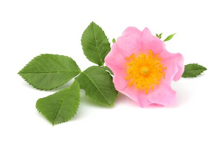 Wild rose flower with leaves isolated on white background. Stock Photo