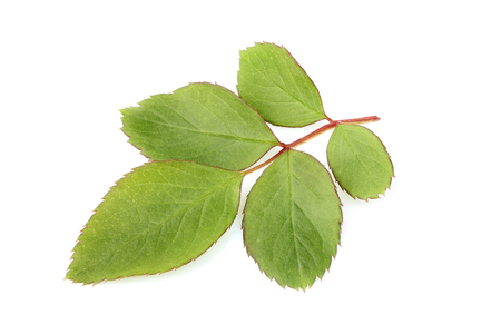 Fresh leaves of wild rose isolated closeup on white background.