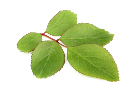 Leaves of wild rose closeup isolated on white background.