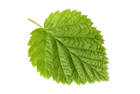 Fresh raspberry leaf isolated closeup on white background. Stock Photo