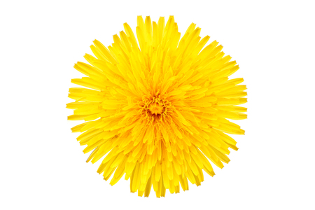 Dandelion (Taraxacum Officinale) Isolated yellow flower on white background.