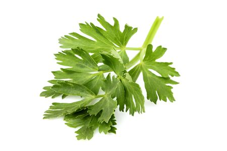 Celery leaf closeup isolated on white background. Stock Photo