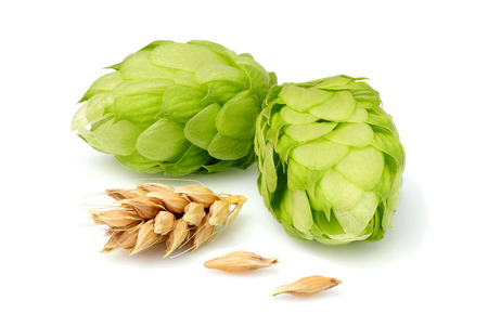Green hop with ears of barley isolated closeup on white.