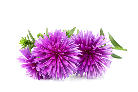 Flower purple asters isolated on white background.