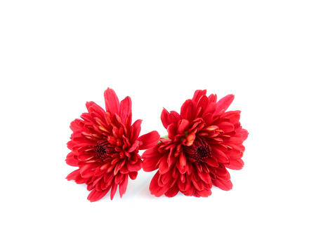 Red dahlias flowers isolated on white background.