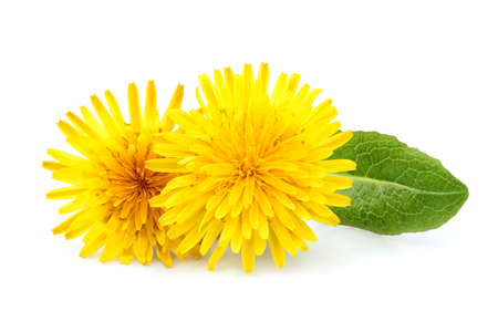 Dandelion officinale flower isolated on white background.  Stock Photo