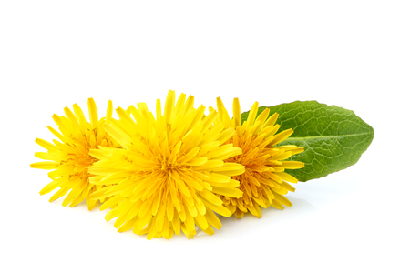 Dandelion officinale floweron white background.Natural plant isolated.