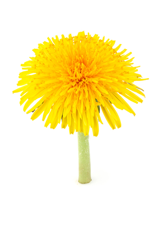 Dandelion officinale flower vertically isolated on white background. Stock Photo