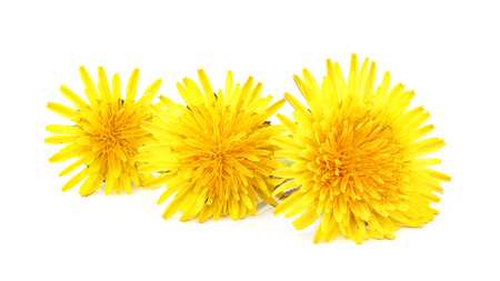 Close-up dandelion officinale flower isolated on white background. Stock Photo
