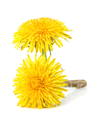 Two dandelion officinale flower isolated on white background.