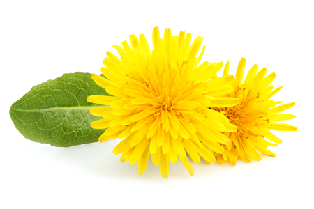 Yellow dandelions and dandelions leaves isolated on white background.