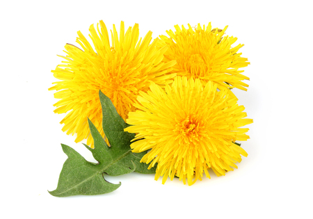 Yellow dandelions with dandelions leaf isolated closeup on white background.