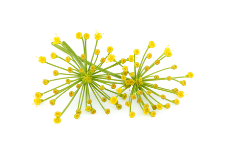 Fresh fennel flower isolated on white background.
