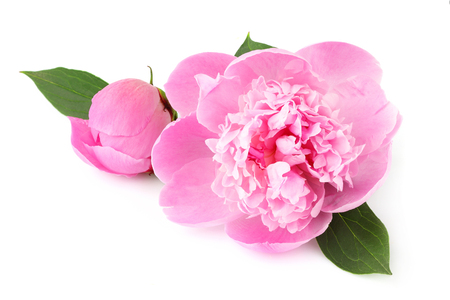 Pink flower peonies (Paeonia) flowering isolated on white background.