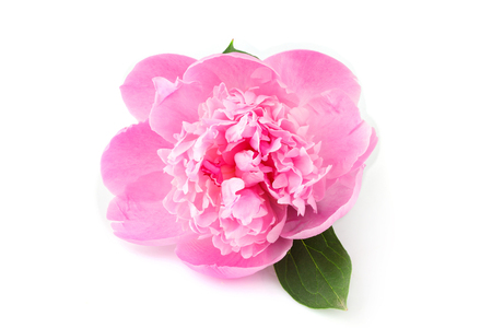 Pink flower peonies (Paeonia) closeup on white background.